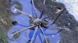 Dolomedes briangreenei, паук, новости, вода, теория струн, открытие, новый вид, австралия, наука, мир животных