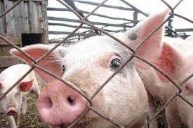 Ароматное, Крым, африканская чума свиней, больные свиньи, Владимир Путин, общество, видео