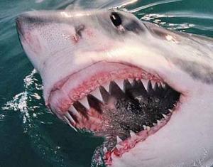 сша, белая акула, серфингист, калифорния