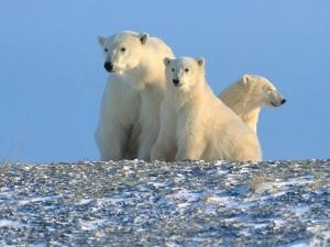 белые медведи, канада, северная америка, сша, глобальное потепление