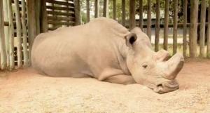 белый носорог, Судан, животные, Красная книга, происшествия, Африка