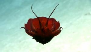 Мексиканский залив, США, необычное морское существо, Okeanos Explorer, кровавый моллюск, странное животное, кадры, фото, видео