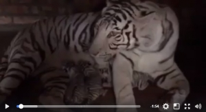 """бердянский зоопарк """"сафари"""", запорожская область, роды, тигрята, белые тигры, бенгальские тигры, тигрица азира, видео, мир животных, событие, хищники, новости украины"""