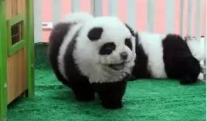 панды, собаки, цирк, италия