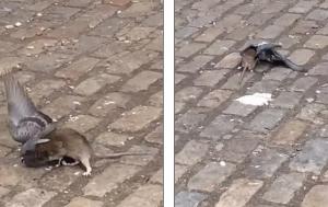 голубь, крыса напала, Нью-йорк, утащила с собой