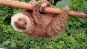 эквадор, ленивец, фото
