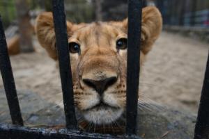 львы, видео, тернополь, нападение, зоопарки, хищники, дети, происшествия