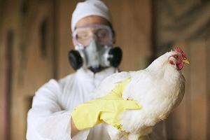 птичий грипп, штамм, вирус, великобритания