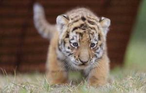 Китай, тигрята, общество, животные