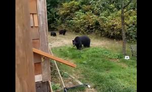 канада, мир животных, медведи, происшествия, курьезы с животными, смешные медведи, видео медведи во дворе, медведь в доме, новости канады