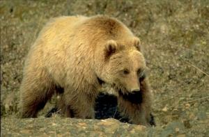 канада, гризли, охотники, нападение медведя
