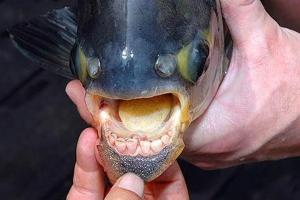 Индонезия, Азия, паку, рыба-мутант, рыба с человеческими зубами, странная рыба, фото, кадры