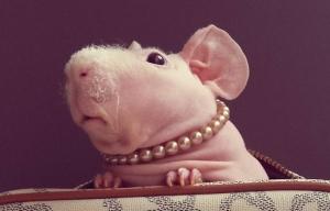мир животных, происшествия, общество, морская свинка, скинни, болезнь, Сеть, Польша