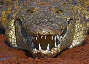 происшествия, хищники, рептилии, крокодил, нападение, парк крюгер, леопард, фото, животные