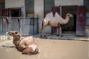 верблюд в Николаевском зоопарке, видео с верблюдом, происшествии в зоопарке Николаева