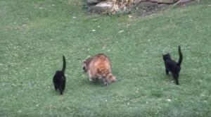 животные, енот, котята, дружба, видео