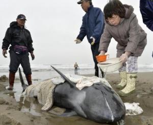 азия, япония, массовый выброс на берег, дельфины