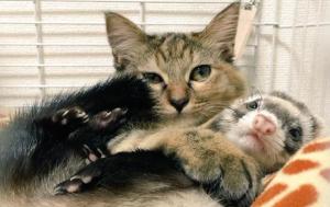 хорьки, приютили котенка, усыновили, япония, звезды интернета