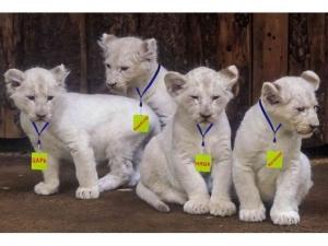 белые львы в Крыму, Царь, Режиссер, Матильда и Няша-Невменяша, Поклонская