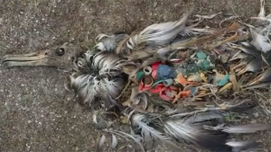 птицы, экология, океан, загрязнение, пластик