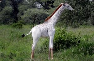 белый жираф, Кения, Африка, животные