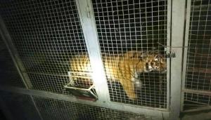 Киев, тигры, полиция, нарушение, закон, жестокое, обращение
