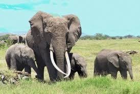 слоны, носогори, Великобритания, браконьеры, зоозащитники, марш