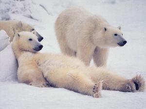 норвегия, россия, наука, учёные, медведи