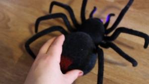 австралия, пауки, черные вдовы, дождь, насекомые