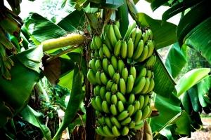 иркутск, банан, плод