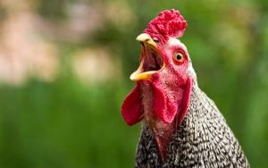 великобритания, дерби, курица агата, побег из дома