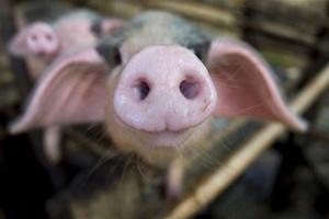 свинина из украины, украина, белоруссия, экономика, бизнес, африканская чума свиней