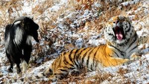 россия, мир животных, тимур, амур, сафари-парк, происшествия, видео