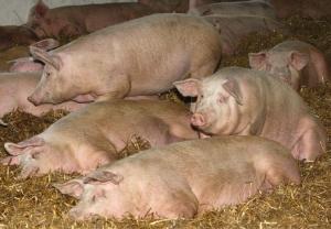запорожская область, свиньи, чума, вспышка