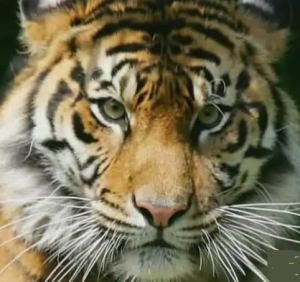 тигр, франция, Монтеврен
