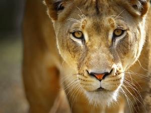 тверь, львица, зоопарк, сбежала