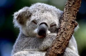 Австралия, коала, эвтаназия, избыточность популяции, голодная смерть, нехватка продовольствия