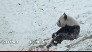 панда, видео, снегопад, канада, торонто