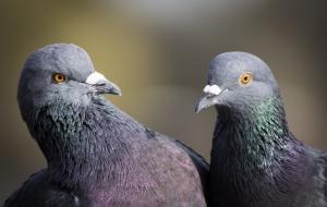 """Австралия, голубь, перья, """"сигнальное"""" перо"""