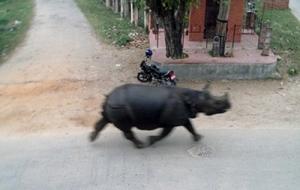 непал, заповедник, носорог. женщина, гибель