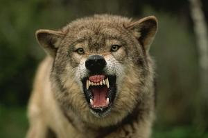новости Донбасса, нападение волков, общество, происшествия