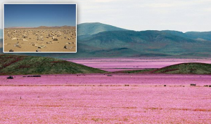 сша, чили, видео, пустыня, атакама, цветы, дожди, засуха, цветение