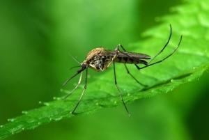 вирус Зика, комары, Агентство по охране окружающей среды, бактерия Вольбахии, паразит, фертильность