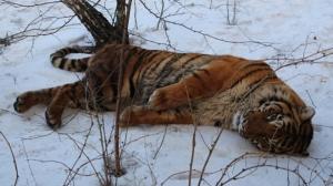 россия, воронеж, происшествия, общество, мир животных, тигр, мвд россии, видео