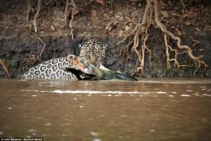 Мир животных, борьба ягуара и каймана, ягуар выиграл в схватке