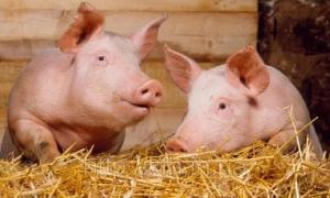 Украинская Ассоциация свиноводов, свинина, снижение цены