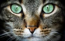 Секрет мурлыканья кошек раскрыт: ученые сделали удивительное открытие
