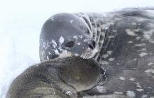 На украинской полярной станции впервые родился тюлененок: варианты имени могут предлагать все желающие