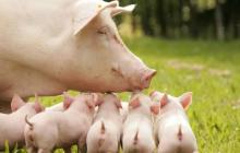Последствия коронавируса: в Китае родился поросенок с хоботом - ученые в недоумении