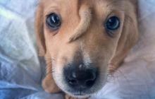 Щенок с хвостиком между глаз ввел в ступор даже опытных ветеринаров
